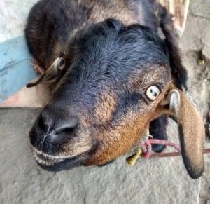 Goat in Vattakanal kodaikanal hippie